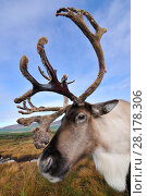 Купить «Reindeer (Rangifer tarandus) bull reindeer with antlers in velvet, reintroduced Cairngorm Reindeer Herd, Cairngorm National Park, Speyside, Scotland, October», фото № 28178306, снято 15 августа 2018 г. (c) Nature Picture Library / Фотобанк Лори