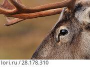 Купить «Reindeer (Rangifer tarandus) reindeer with bare antlers in rutting season , reintroduced Cairngorm Reindeer Herd, Cairngorm National Park, Speyside, Scotland, October», фото № 28178310, снято 17 июля 2018 г. (c) Nature Picture Library / Фотобанк Лори
