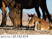 Купить «Feral Horse (Equus caballus) mare and foal few days old.   Namib-Naukluft National Park, Namibia», фото № 28183874, снято 24 мая 2018 г. (c) Nature Picture Library / Фотобанк Лори