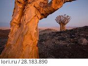Купить «Quiver Tree (Aloe dichotoma)  Namib-Naukluft National Park, Namibia.», фото № 28183890, снято 24 марта 2018 г. (c) Nature Picture Library / Фотобанк Лори