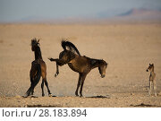 Купить «Feral Horse (Equus caballus) mare kicking out at stallion with foal nearby, Namib-Naukluft NP, Namibia.», фото № 28183894, снято 23 мая 2018 г. (c) Nature Picture Library / Фотобанк Лори