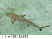 Купить «Swimming with Blacktip reef shark (Carcharhinus melanopterus) Raja Ampat, Western Papua, Indonesian New Guinea», фото № 28183918, снято 17 января 2019 г. (c) Nature Picture Library / Фотобанк Лори