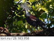 Western crowned pigeon, (Goura cristata), Aiduma Island, Triton Bay, near mainland New Guinea, Western Papua, Indonesian New Guinea. Стоковое фото, фотограф Staffan Widstrand / Nature Picture Library / Фотобанк Лори