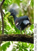 Купить «Western crowned pigeon, (Goura cristata), Aiduma Island, Triton Bay, near mainland New Guinea, Western Papua, Indonesian New Guinea», фото № 28183962, снято 21 февраля 2019 г. (c) Nature Picture Library / Фотобанк Лори