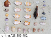 Купить «Seashells collected from beach, Triton Bay, Mainland New Guinea, Western Papua, Indonesian New Guinea», фото № 28183982, снято 27 марта 2019 г. (c) Nature Picture Library / Фотобанк Лори
