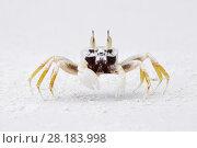 Купить «Horned ghost crab (Ocypode ceratophthalma) Lowland rainforest, Karawawi River, Kumawa Peninsula, mainland New Guinea, Western Papua, Indonesian New Guinea...», фото № 28183998, снято 18 января 2019 г. (c) Nature Picture Library / Фотобанк Лори