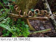 Купить «Spiral vine / liana, Lowland rainforest, near Kap Araide, Kumawa Peninsula, Western Papua, Indonesian New Guinea», фото № 28184002, снято 20 мая 2018 г. (c) Nature Picture Library / Фотобанк Лори