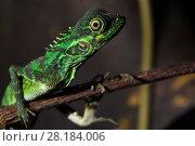 Купить «Forest dragon lizard (Hypsilurus) Batenta Island, Raja Ampat, Western Papua, Indonesia.», фото № 28184006, снято 23 марта 2019 г. (c) Nature Picture Library / Фотобанк Лори