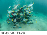 Купить «Tourists helmet diving and walking around the shallow reefs of Green Island, surrounded by Deep bodied fusilier (Caesio cuning) Great Barrier Reef, Queensland, Australia October 2016.», фото № 28184246, снято 27 мая 2018 г. (c) Nature Picture Library / Фотобанк Лори