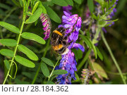 Купить «Buff-tailed Bumble Bee (Bombus terrestris) feeding on Tufted Vetch (Vicia cracca) at the edge of a meadow, Cheshire, UK, August», фото № 28184362, снято 20 июня 2018 г. (c) Nature Picture Library / Фотобанк Лори