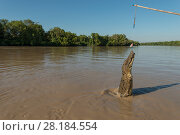Купить «Saltwater crocodile (Crocodylus porosus) jumping up to grab a piece of chicken hung over the water by Adelaide River cruise boat skipper, Adelaide River, Darwin, Northern Territories, Australia», фото № 28184554, снято 24 мая 2018 г. (c) Nature Picture Library / Фотобанк Лори