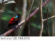 Купить «Wilson's bird-of-paradise (Cicinnurus respublica), Waigeo, Raja Ampat, Western Papua, Indonesian New Guinea», фото № 28184610, снято 18 апреля 2019 г. (c) Nature Picture Library / Фотобанк Лори