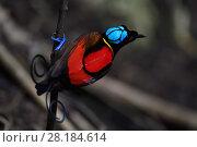 Купить «Wilson's bird-of-paradise (Cicinnurus respublica), Waigeo, Raja Ampat, Western Papua, Indonesian New Guinea», фото № 28184614, снято 27 марта 2019 г. (c) Nature Picture Library / Фотобанк Лори