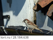 Купить «House sparrow (Passer domesticus) male perched on a roof gutter near its nest entrance under old tiles, with a faecal sac it has just brought from the nest,  Wiltshire, UK, June.», фото № 28184638, снято 23 марта 2018 г. (c) Nature Picture Library / Фотобанк Лори