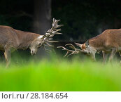 RF - Red deer (Cervus elaphus) stags fighting, Holkham Park, Norfolk, England, UK, September. (This image may be licensed either as rights managed or royalty free.) Стоковое фото, фотограф Ernie  Janes / Nature Picture Library / Фотобанк Лори