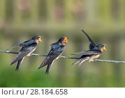 Купить «RF - Fledgling Swallows (Hirundo rustica) on fence waiting to be fed, Norfolk, England, UK, September.», фото № 28184658, снято 16 августа 2018 г. (c) Nature Picture Library / Фотобанк Лори