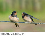 Купить «Swallows (Hirundo rustica) fledgling on fence waiting to be fed, Norfolk, England, UK. September.», фото № 28184714, снято 16 августа 2018 г. (c) Nature Picture Library / Фотобанк Лори