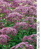 Купить «Joe Pye weed (Eupatorium maculatum) 'Gateway' in garden border, August.», фото № 28184730, снято 22 июля 2018 г. (c) Nature Picture Library / Фотобанк Лори