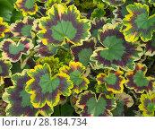 Купить «Geranium 'Sunset' with variegated leaf colour», фото № 28184734, снято 21 августа 2018 г. (c) Nature Picture Library / Фотобанк Лори