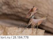Купить «South American Dead Leaf mantis (Decimiana tessellata) captive; occurs in Bolivia.», фото № 28184778, снято 16 октября 2019 г. (c) Nature Picture Library / Фотобанк Лори