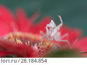 Купить «Indian flower mantis (Creobroter gemmatus) grooming, captive, native Asia.», фото № 28184854, снято 16 октября 2019 г. (c) Nature Picture Library / Фотобанк Лори