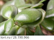 Купить «Crassula portulacea houseplant leaves close up. Dollar plant», фото № 28190966, снято 20 апреля 2015 г. (c) Евгений Ткачёв / Фотобанк Лори
