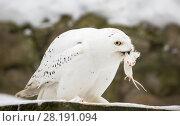 Белая (полярная) сова ест мышку. Стоковое фото, фотограф Галина Савина / Фотобанк Лори