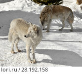 Купить «Tundra wolf (Canis lupus albus). Two wolves in winter», фото № 28192158, снято 18 марта 2018 г. (c) Валерия Попова / Фотобанк Лори