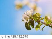 Купить «Spring background. Spring flowers of blooming garden apple tree on the background of blue sunny sky», фото № 28192570, снято 4 июня 2017 г. (c) Зезелина Марина / Фотобанк Лори