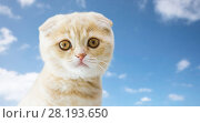 Купить «close up of scottish fold kitten», фото № 28193650, снято 19 июля 2015 г. (c) Syda Productions / Фотобанк Лори