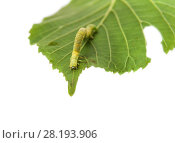 Купить «Гусеница землемерка зимней пяденицы (Operophtera brumata) на зеленом листке липы. Белый фон», фото № 28193906, снято 19 июля 2017 г. (c) Алёшина Оксана / Фотобанк Лори