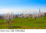 Купить «Apricot farm during sping season against Ararat in spring Armenia», фото № 28194862, снято 17 марта 2018 г. (c) Papoyan Irina / Фотобанк Лори