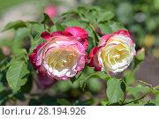 Купить «Розы двухцветные сорта Double Delight», фото № 28194926, снято 21 июля 2017 г. (c) Ирина Носова / Фотобанк Лори