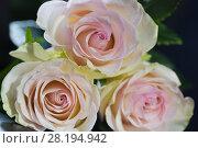 Купить «Три розы сорта Эсперанс (Esperance) крупным планом на чёрном фоне», фото № 28194942, снято 9 декабря 2017 г. (c) Ирина Носова / Фотобанк Лори