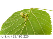 Купить «Гусеница землемерка зимней пяденицы (Operophtera brumata) на зеленом листке липы. Белый фон», фото № 28195226, снято 19 июля 2017 г. (c) Алёшина Оксана / Фотобанк Лори