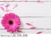 Купить «pink gerber on white wooden background», фото № 28195398, снято 28 марта 2017 г. (c) Майя Крученкова / Фотобанк Лори
