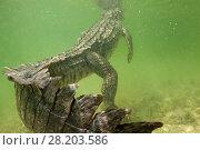 Купить «American crocodile (Crocodylus acutus) rear view of animal resting in shallow water with head at surface, Banco Chinchorro Biosphere Reserve, Caribbean region, Mexico», фото № 28203586, снято 20 августа 2018 г. (c) Nature Picture Library / Фотобанк Лори