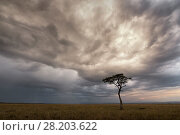 Купить «Whistling thorn tree (Acacia drepanolobium) in open Savanna Grassland under storm clouds, Masai Mara National Reserve, Kenya», фото № 28203622, снято 16 августа 2018 г. (c) Nature Picture Library / Фотобанк Лори