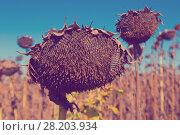 Купить «Illustration of scenics fields with ripe sunflowers», фото № 28203934, снято 14 сентября 2017 г. (c) Яков Филимонов / Фотобанк Лори