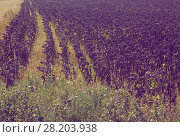 Купить «Illustration of scenics fields with ripe sunflowers», фото № 28203938, снято 14 сентября 2017 г. (c) Яков Филимонов / Фотобанк Лори