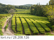 Купить «Tea plantations on the island of Sao Miguel, Azores, Portugal», фото № 28208126, снято 6 мая 2012 г. (c) Юлия Бабкина / Фотобанк Лори
