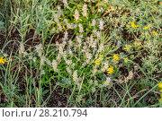 Купить «Тимьян, чабрец Маршалла (Thimus marschallianus Willd)», фото № 28210794, снято 23 июня 2015 г. (c) Ольга Сейфутдинова / Фотобанк Лори