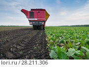Red combine harvester harvests of sugar beet at summer evening, back view. Стоковое фото, фотограф Losevsky Pavel / Фотобанк Лори