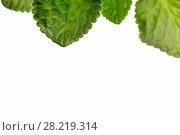 Купить «Зеленые листья герани крупным планом на белом фоне», фото № 28219314, снято 13 февраля 2016 г. (c) Евгений Ткачёв / Фотобанк Лори