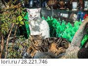 Купить «Кошкин пляж White and brown striped cats», фото № 28221746, снято 20 января 2018 г. (c) Baturina Yuliya / Фотобанк Лори