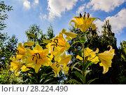 Купить «Желтой лилии цветы в лучах летнего солнца на фоне берез. Подмосковье», фото № 28224490, снято 12 августа 2017 г. (c) Устенко Владимир Александрович / Фотобанк Лори