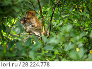 Купить «Proboscis monkey (Nasalis larvatus) juvenile holding younger infant,  Tarakan, Indonesia», фото № 28224778, снято 19 октября 2018 г. (c) Nature Picture Library / Фотобанк Лори
