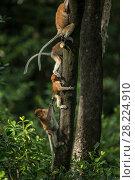 Купить «Proboscis monkeys (Nasalis larvatus) climbing up trees, Tarakan, Indonesia», фото № 28224910, снято 15 декабря 2018 г. (c) Nature Picture Library / Фотобанк Лори