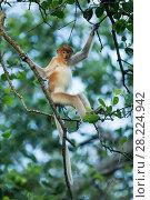 Купить «Proboscis monkey (Nasalis larvatus), juvenile, Tarakan, Indonesia», фото № 28224942, снято 12 декабря 2018 г. (c) Nature Picture Library / Фотобанк Лори
