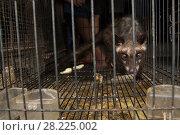 Купить «Asian palm civet (Paradocurus hermaphroditus) prowling its cage, for sale in market, Denpasar, Bali.», фото № 28225002, снято 20 июня 2018 г. (c) Nature Picture Library / Фотобанк Лори